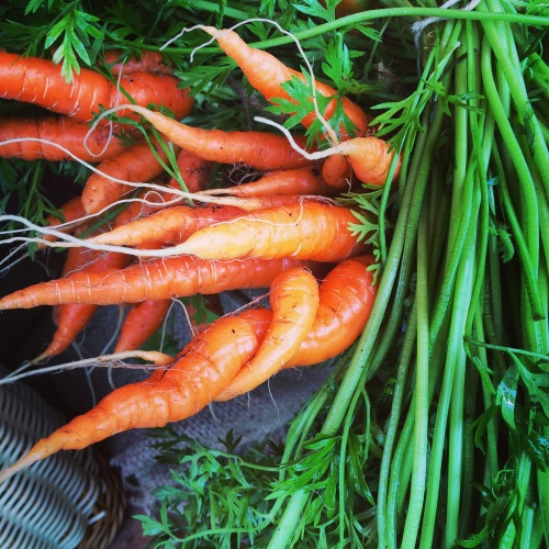 carrots entwined